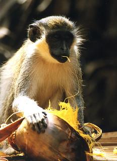 monkeypalm | by kevinzim