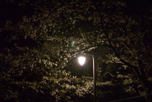 cherryblossom at night 02