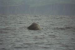 spermwhale Azores