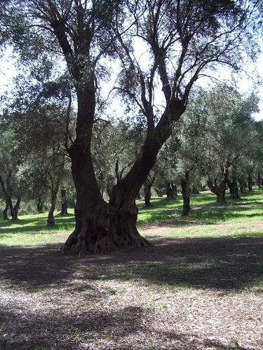 olive grove 2