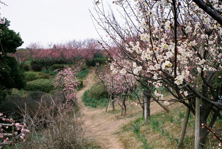 Byway under the plums.