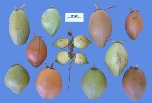 Diversity in Vanuatu coconut