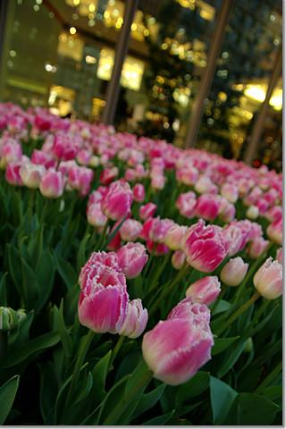 tulip farm at marunouchi03 photo by *istD