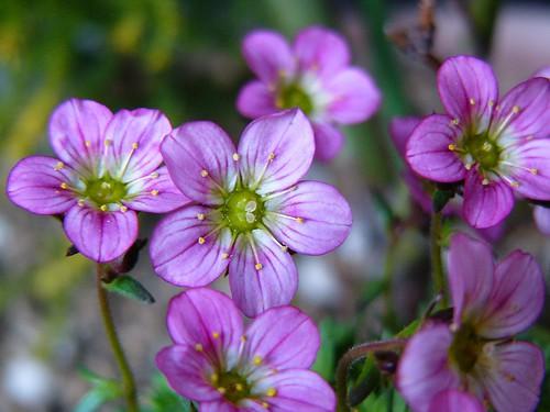 Saxifraga rosacea #3