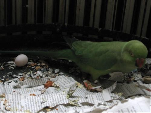Parrot fruit