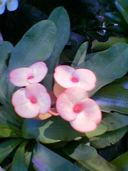 Pink Orchid Euphorbia