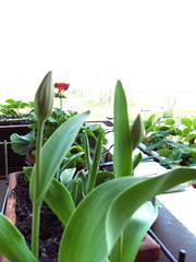 tulipaniboccioli