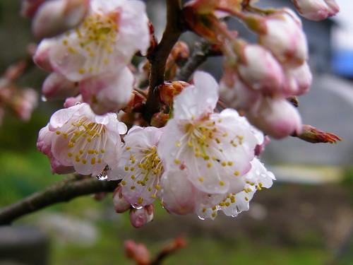 雨あがりの桜