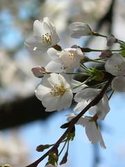 cherry blossom in Meguro