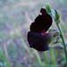 black patani