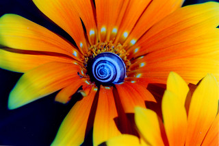gazania splendens with a snail | by Porrovio