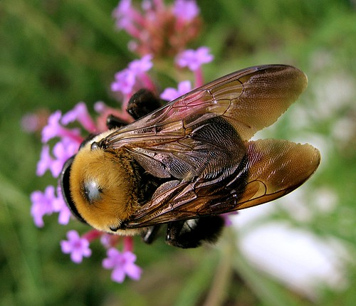 macro bee specnature aswpix specanimal
