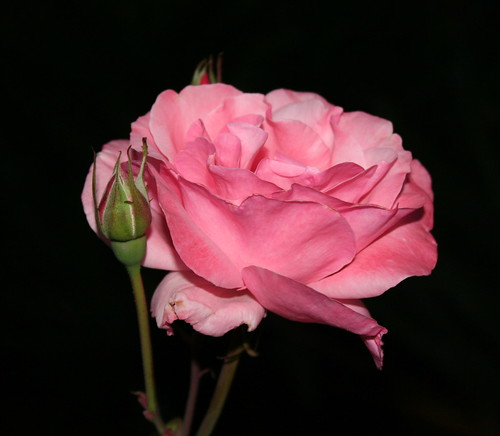 Roses | by ewen and donabel