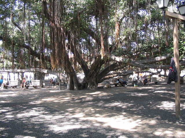 Banyon tree in Lahaina