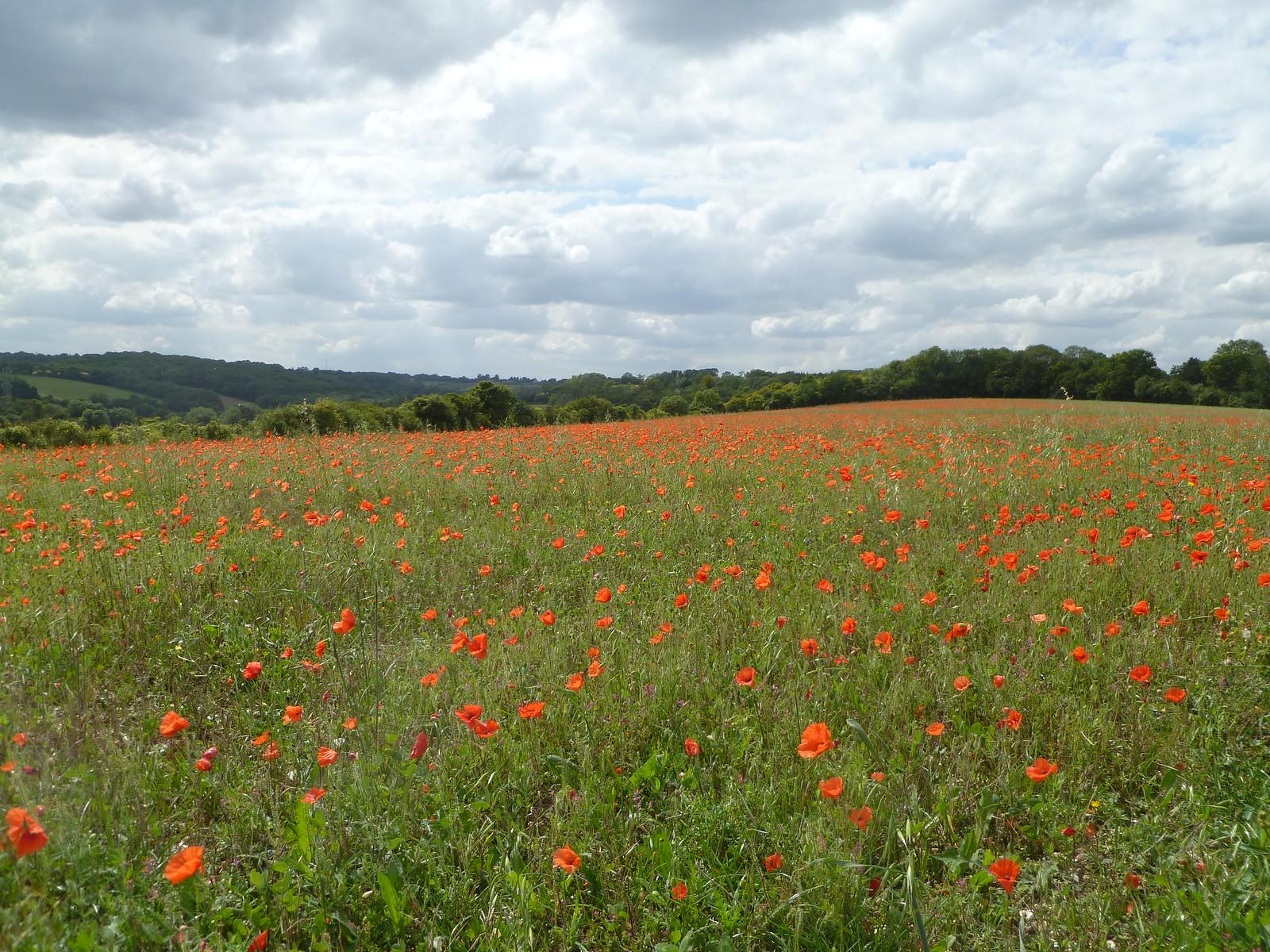 Wildflower Meadow above Luddesdown SWC Walk 173 Cuxton to Halling