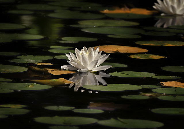 Water Lily and Pads