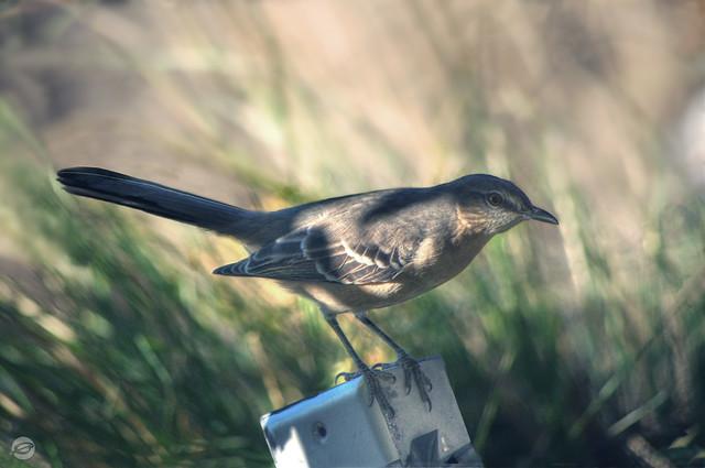 Mockingbird HDR