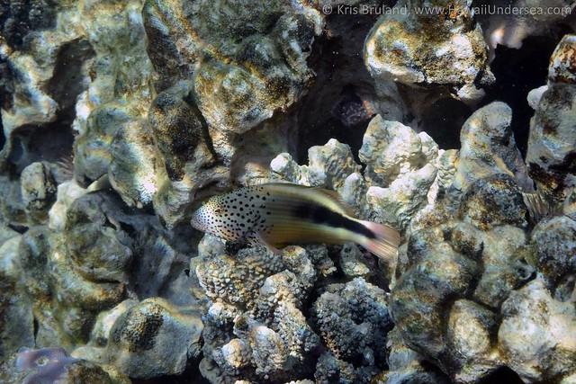 blacksided hawkfish: Paracirrhites forsteri