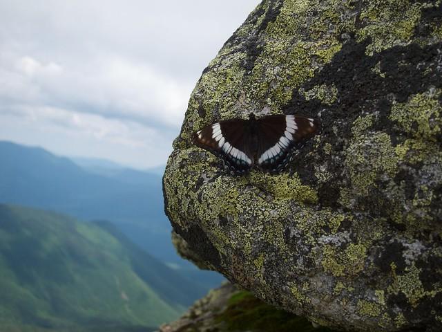 3:56:57 (66%): animal butterfly hiking newhampshire whitemountains franconianotch mtlafayette franconiaridgetrail mtlincoln franconiarange