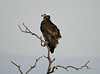 White-headed Vulture by dermoidhome