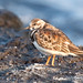 Flickr photo 'Ruddy Turnstone' by: ColonelQComber.