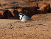 Egyptian Plover, Ndassima, CAR by Terathopius