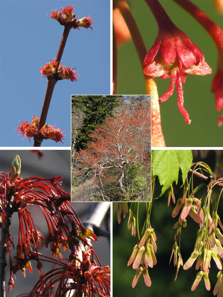Red Maple Seed Development Acer Rubrum Setting Seeds Along Flickr
