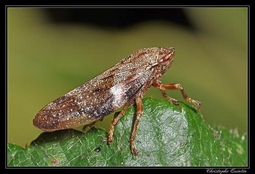 Cicadelle de l'Aulne (Aphrophora alni)