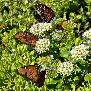 Curtiss' Milkweed & Friends | by bob in swamp