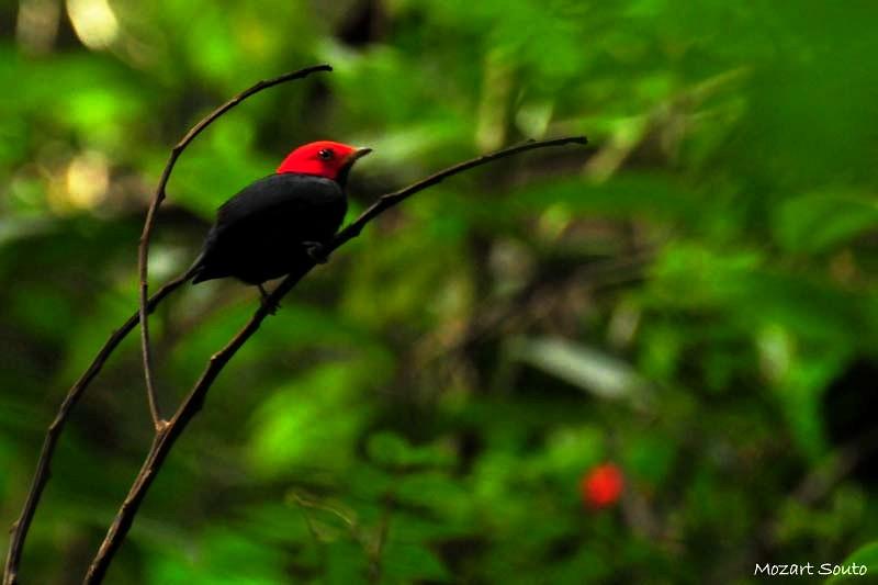 Dançarino-de-Cabeça-Vermelha ou Uirapuru-Cabeça-Vermelha (Pipra rubrocapilla)