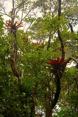 Bromeliads, Poás Volcano National Park / Bromelias, Parque Naciónal Volcán Poás