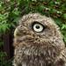 Acorn the Owl