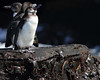 Galapagos Penguin by rhysmarsh