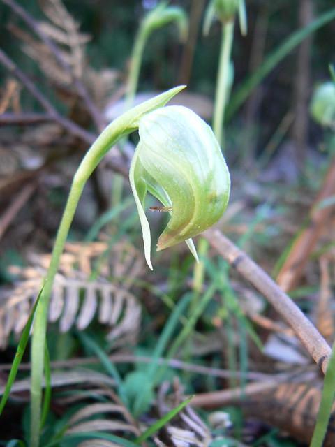 Pterostylis nutans - Nodding Greenhood