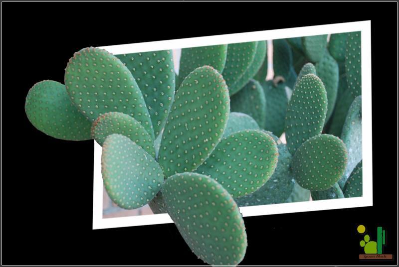 opuntia microdasys cv  caress 147