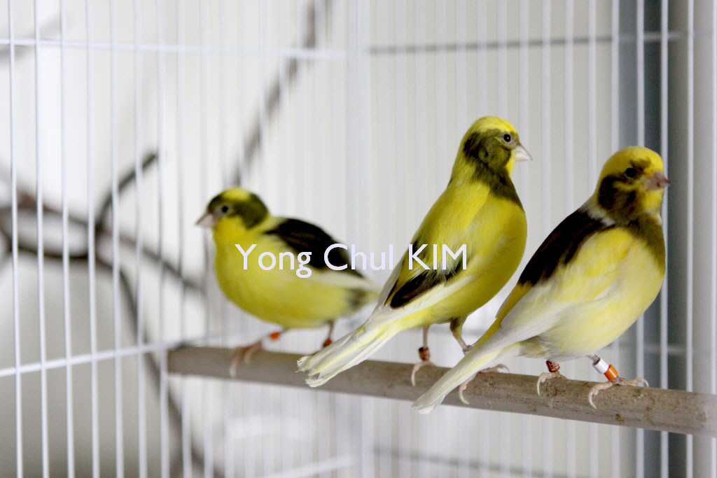 Fife canary | My variegated yellow fife canaries blog daum n… | Flickr