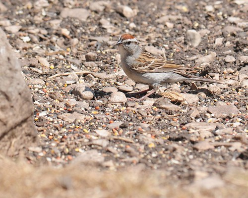 Chipping Sparrow (<I>Spizella passerina</I>), Lost Maples State Park Texas | by VSmithUK