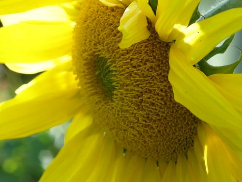 Sunflower macro 240 | by lilli2de