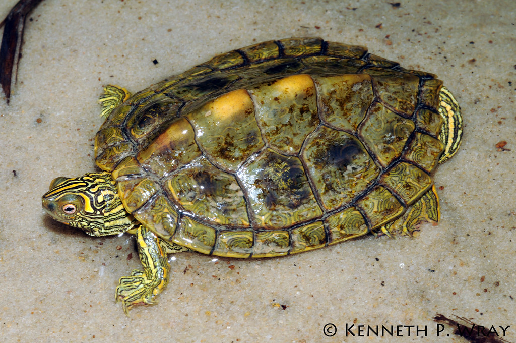 Graptemys Versa Texas Map Turtle An Adult Male Texas Map Flickr