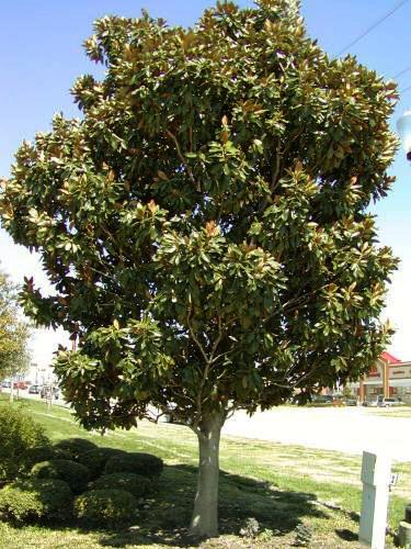 Magnolia Grandiflora Little Gem Little Gem Magnolia Santa