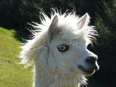 zo, 27/09/2009 - 19:19 - 58_ Alpaca Lama in Caleta Wilde Mathilde