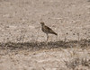 Heuglin's Courser by dermoidhome