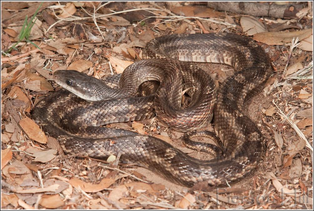 Texas Ratsnake (Pantherophis obsoletus lindheimeri)   Flickr