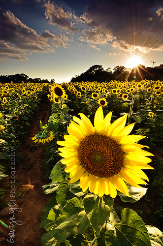 sunset sky clouds star nikon maryland sunflower flare potomac sunflare mckeebeshers poolsville d7000