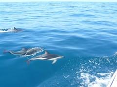 zo, 02/12/2007 - 17:09 - 03_ donkergestreepte dolfijn_ Lagenorhynchus obscurus_001