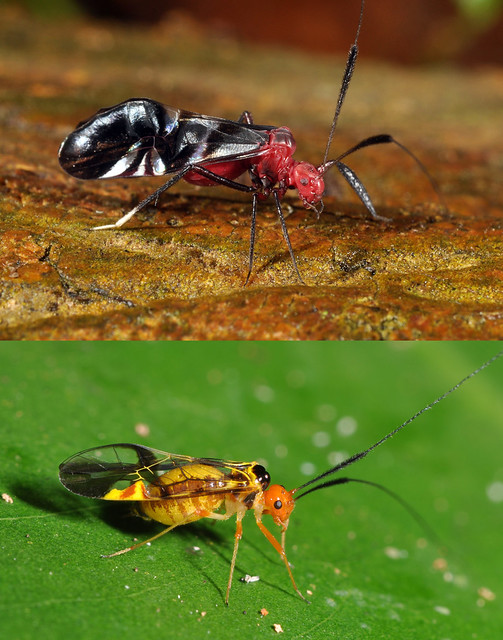 Two unusually colourful tropical Psocoptera (Psocidae: Thyrsophorinae)
