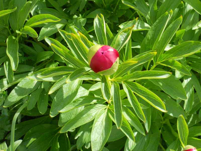 Paeonia lactiflora 5