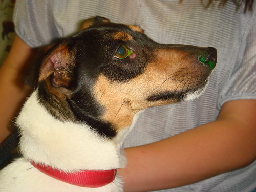 jrt with lump on eye | by Rayya The Vet