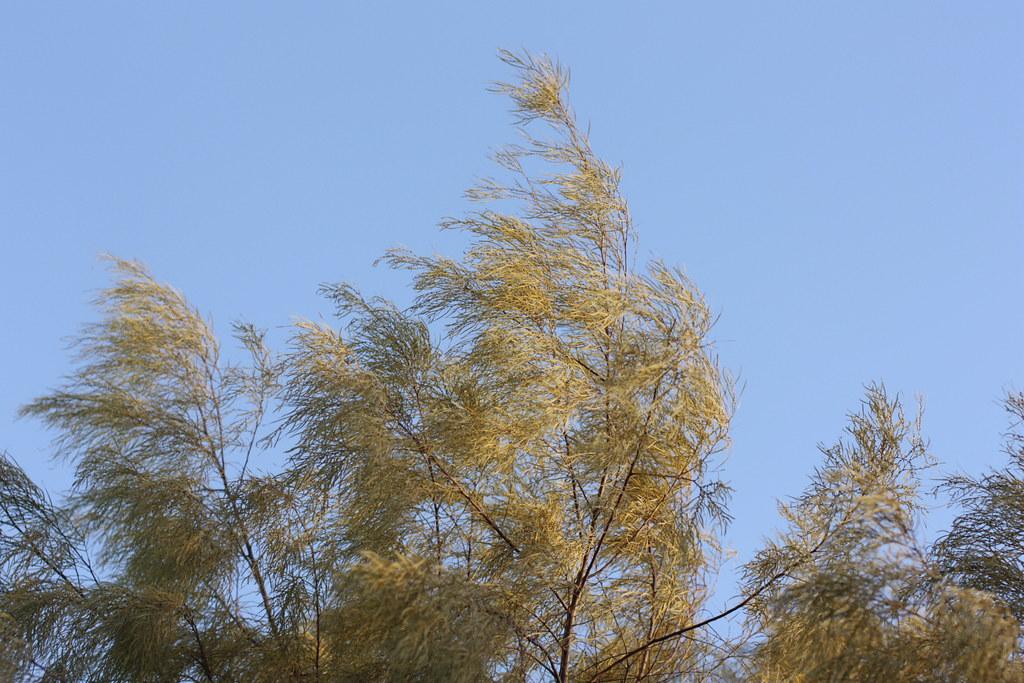 Acacia Cognata Lime Magik Louisa Billeter Flickr