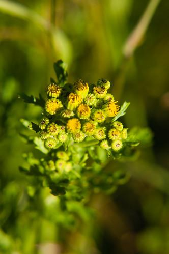 Groundsel flowering